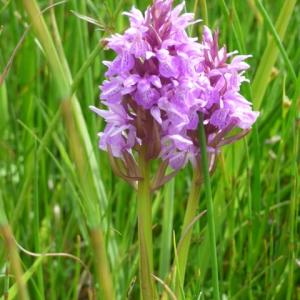 Snape Marshes orchid meadow