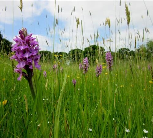Orchid walk, Sn Marshes