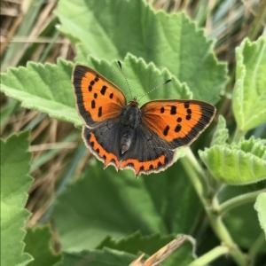 small copper on Marsh Mallow