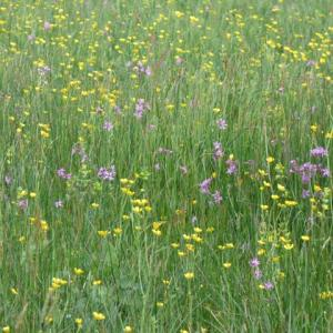 Darsham: ragged robin and meadow buttercups