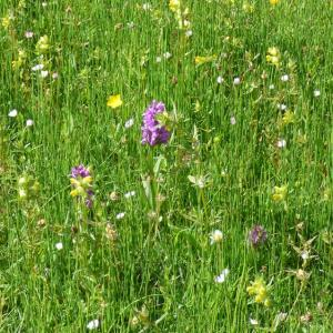 Darsham: yellow rattle and southern marsh orchids