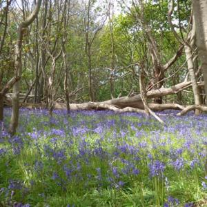 bluebell wood, Southwold