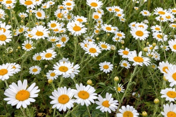 Oxeye daisies for a great show?